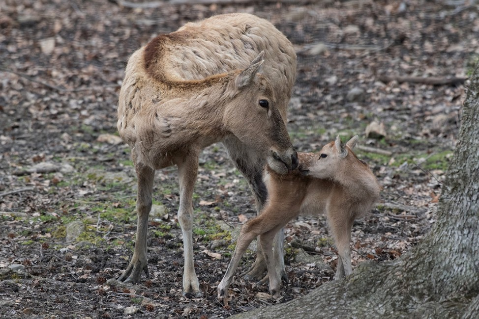 Oh, Deer! A Bronx Baby Boom