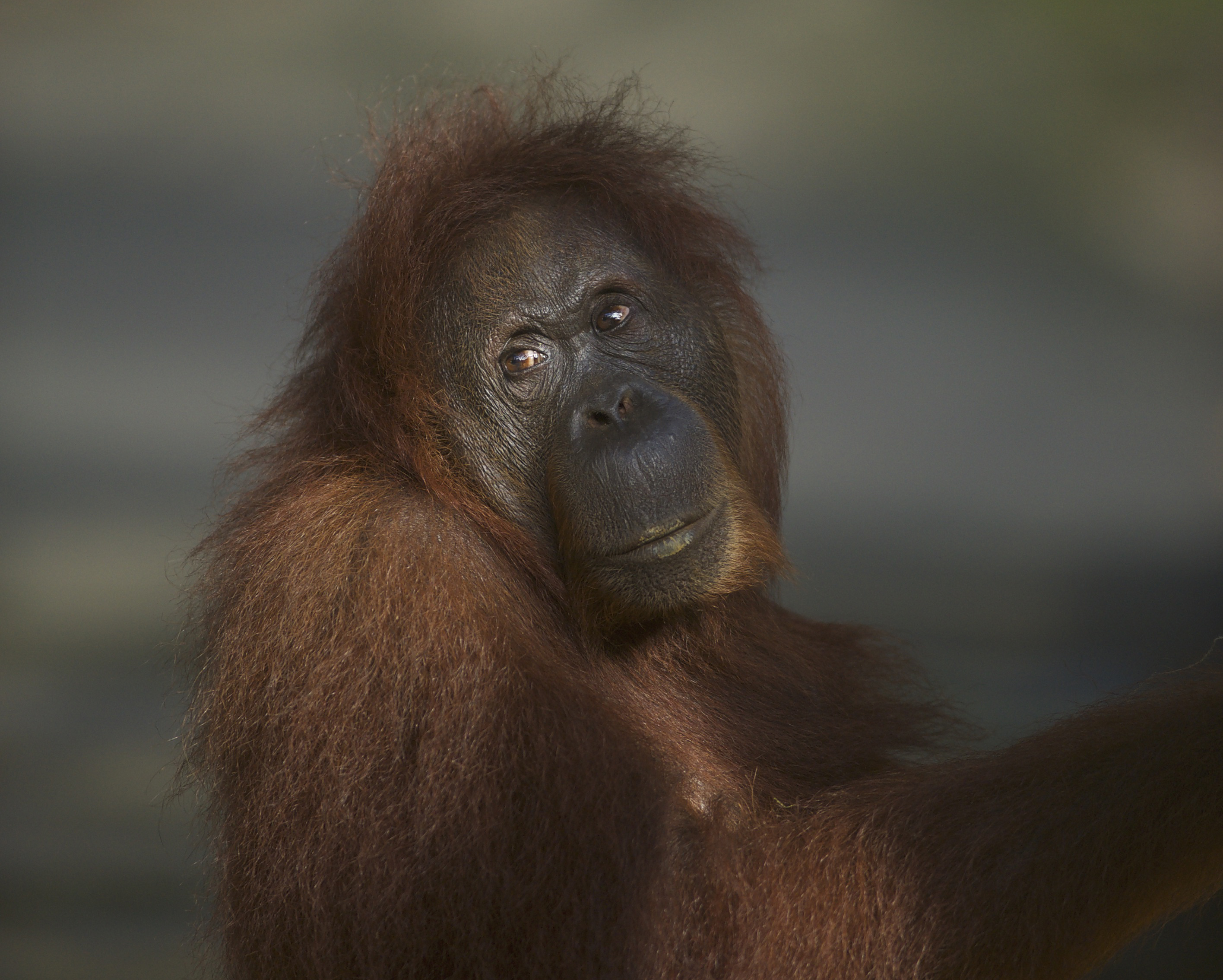 The Rich Orangutan Histories