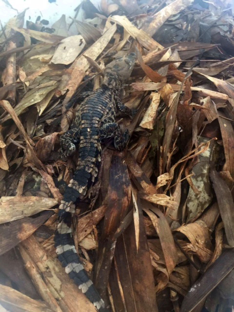 Endangered Crocodile Hatches in Cambodia