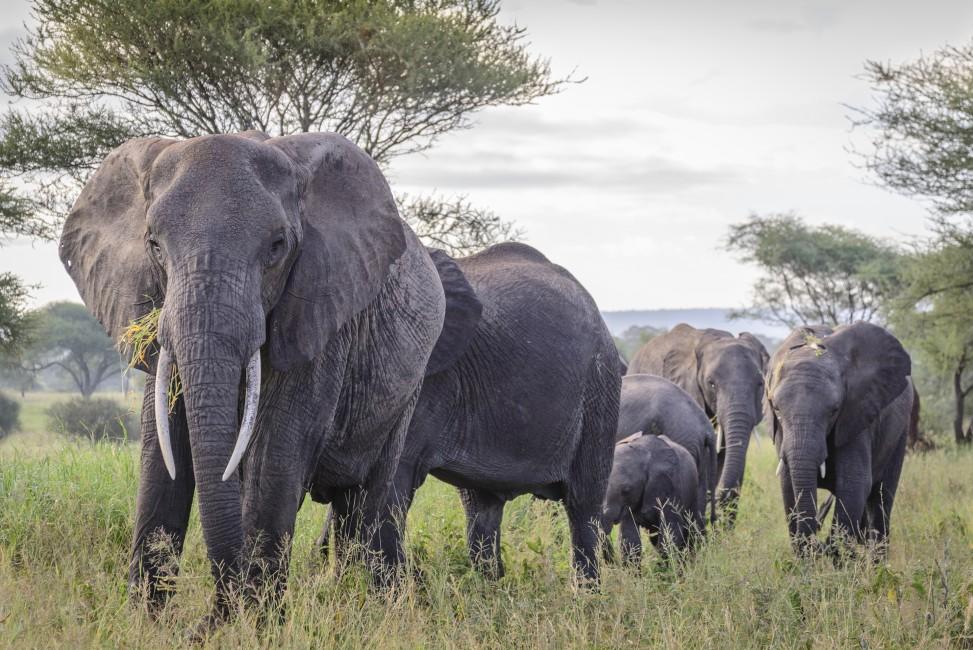 Bwana Tembo (Mr. Elephant)