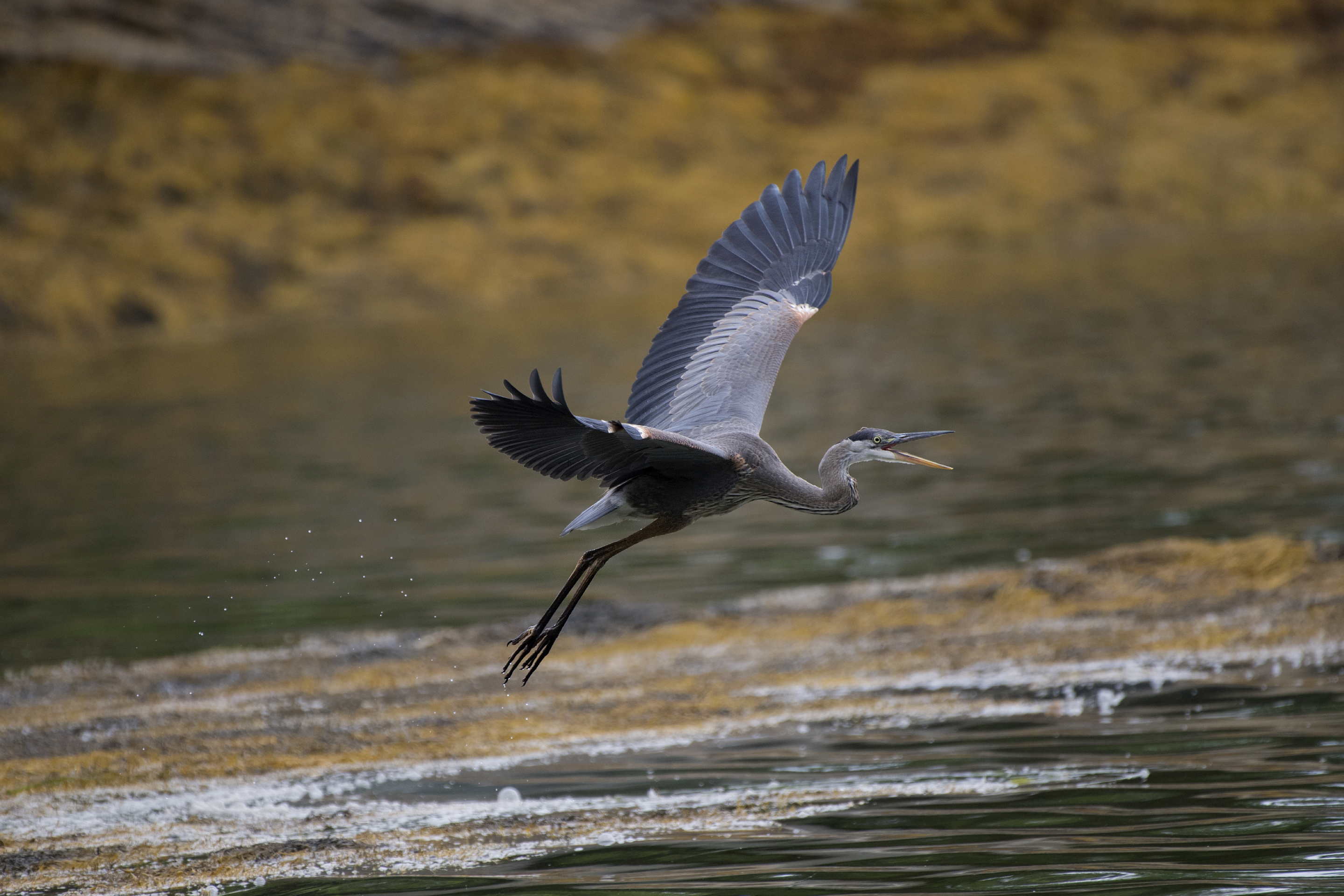 Fishing Expedition – Great Blue Heron