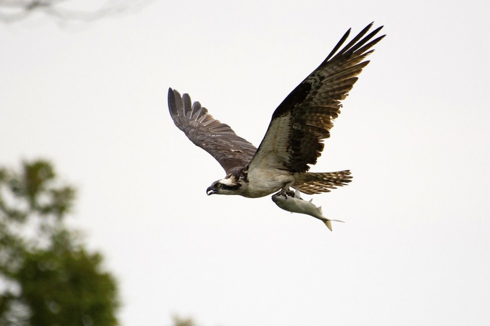 Osprey catch of the day wild view for Osprey catching fish