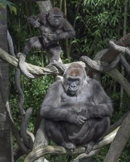 Gorilla Instincts
