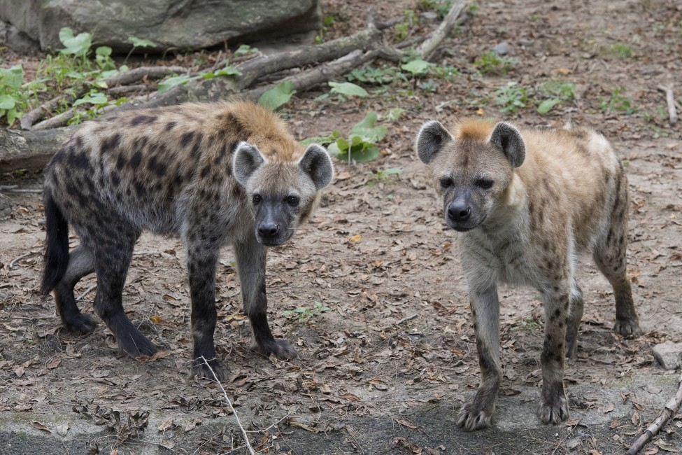 Image of: Bronx Zoo Hail The Hyena Wild View Wildlife Conservation Society Hail The Hyena Wild View