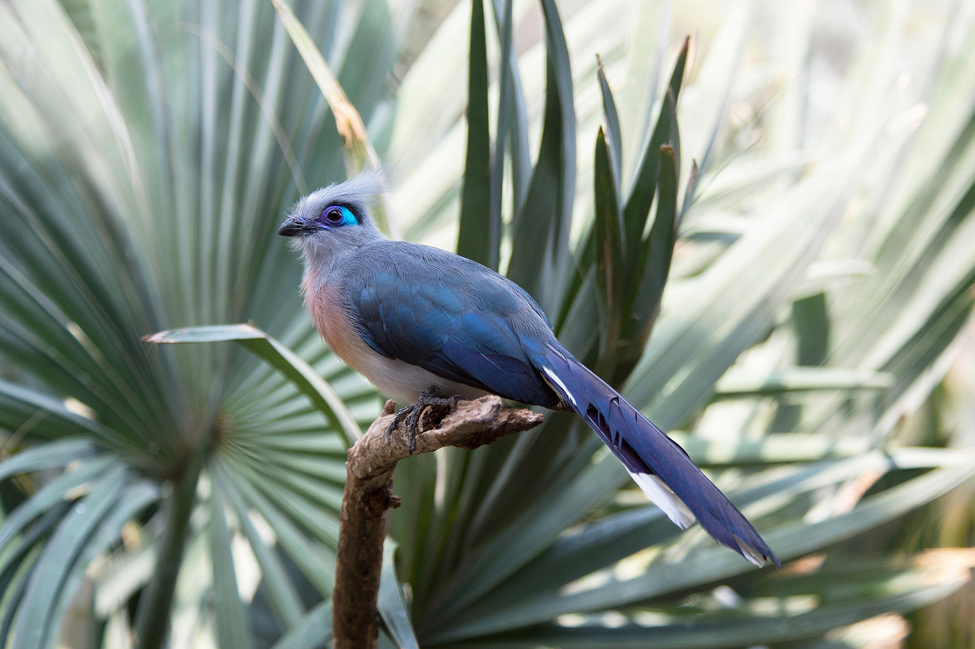 No Trick, Crested Coua Is A Beautiful Treat