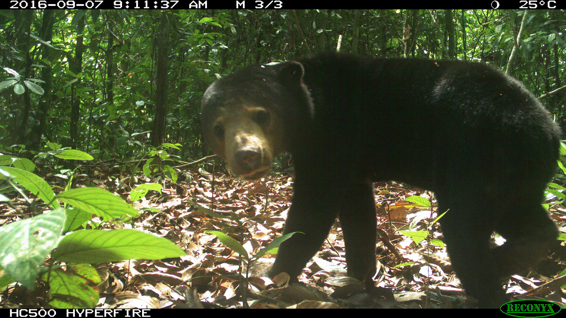 Sun Bears are Fruitful for the Forest