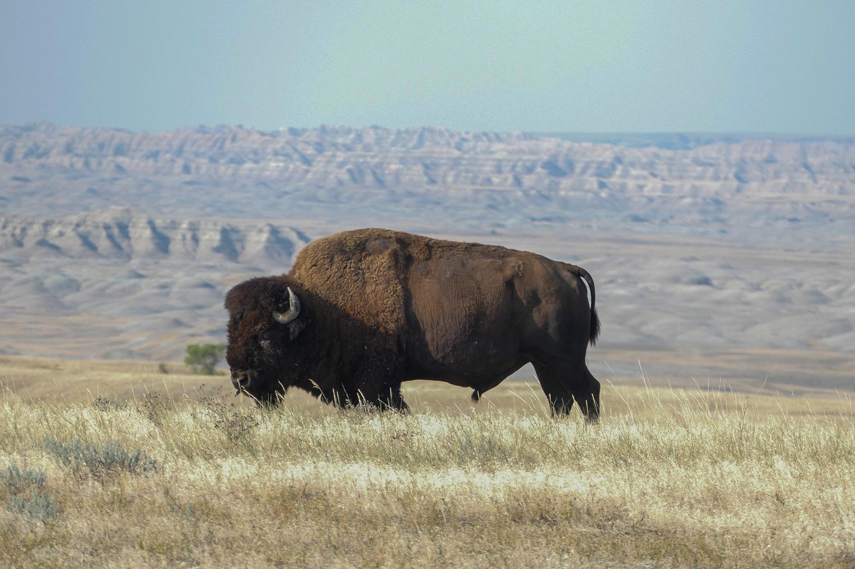 Where Buffalo Roam