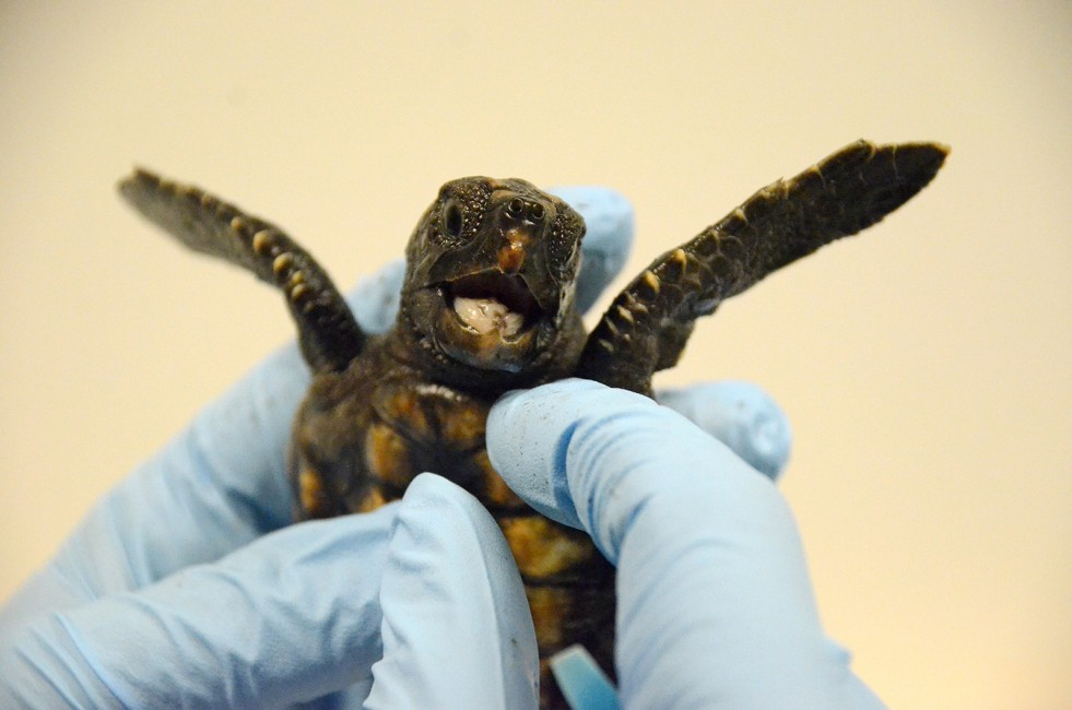 Head Start for a Tiny Turtle