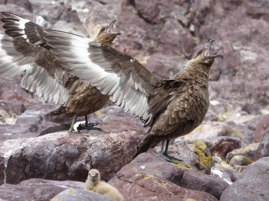 Brown Skua, A Gladiator of Birds