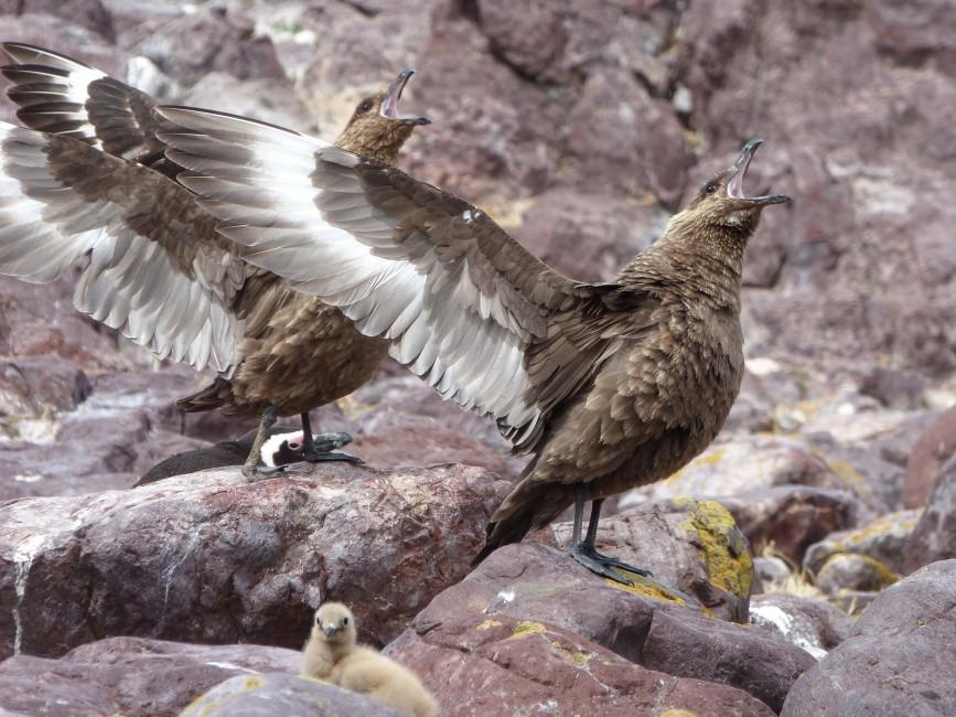 Brown Skua, A Gladiator of Birds