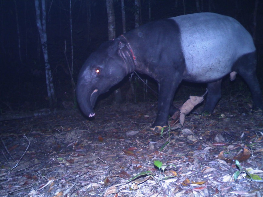 Wire Snares: The Bane in Malaysian Forests, Part 1