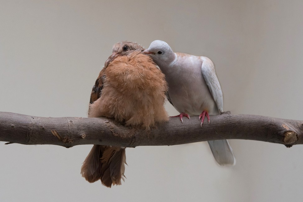 Pink Pigeon Propagation