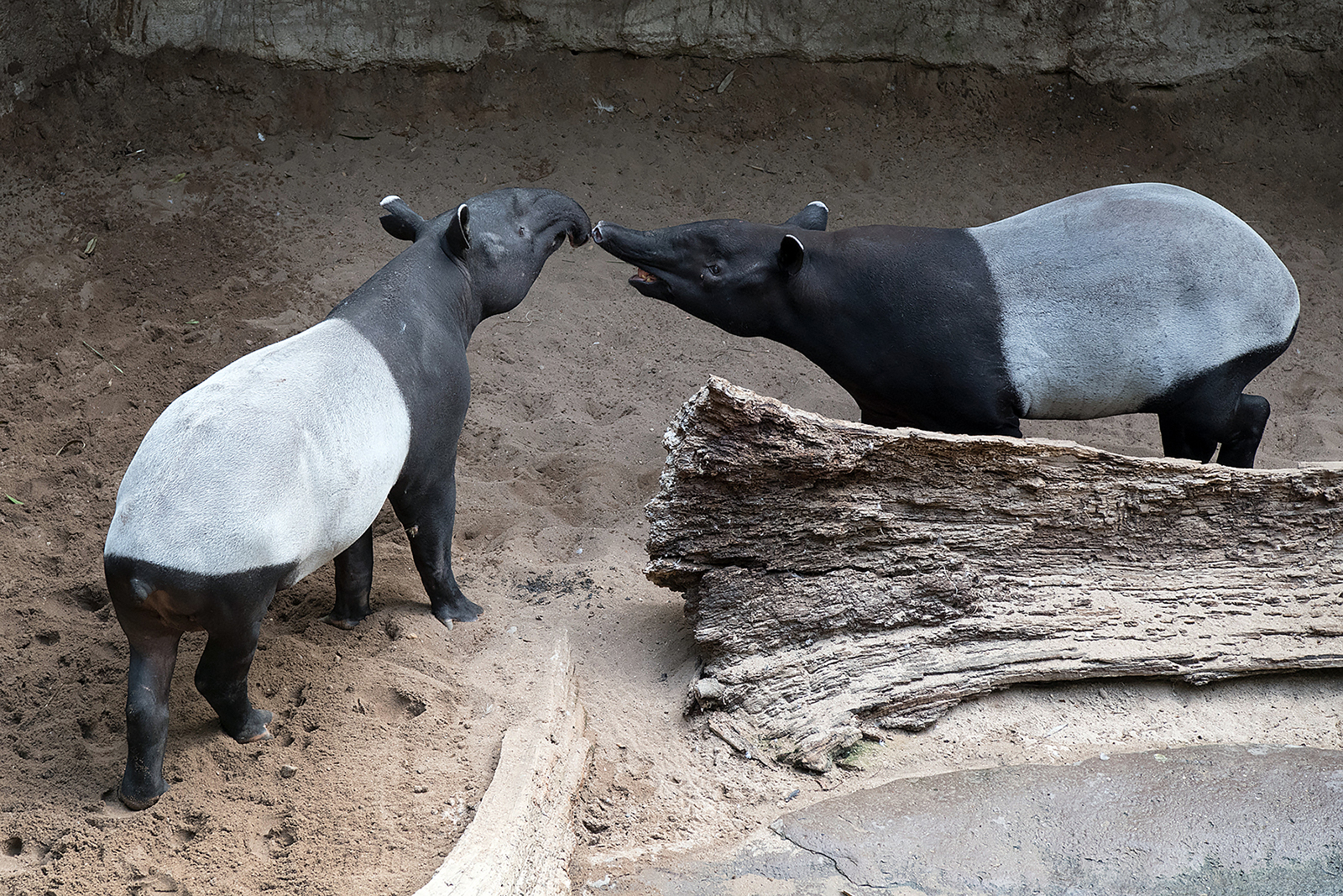 Malayan Tapir – Clever Camouflage