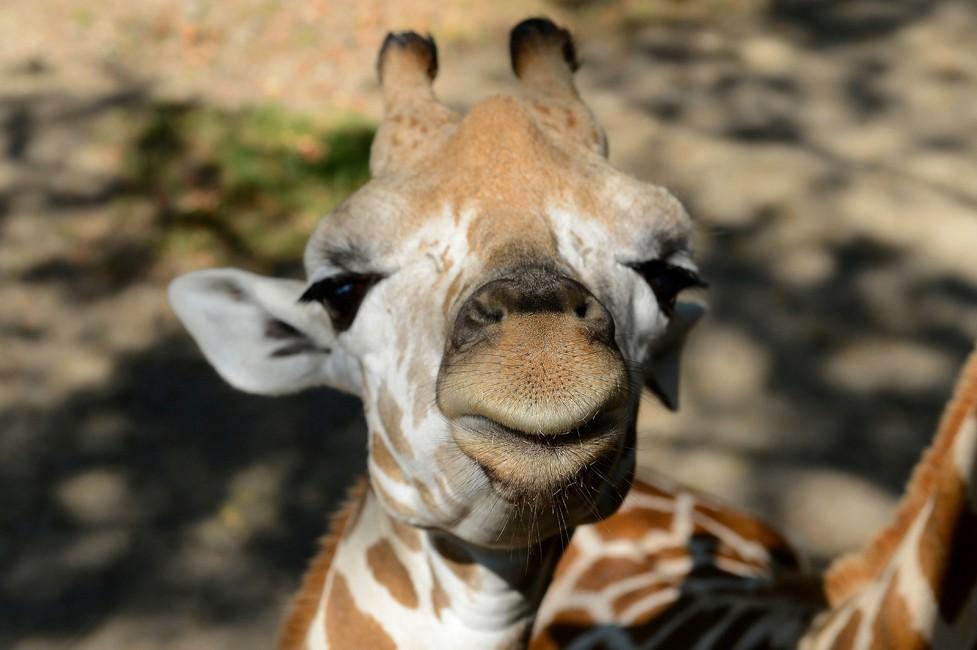 Giraffes: Marvels of the Animal Kingdom
