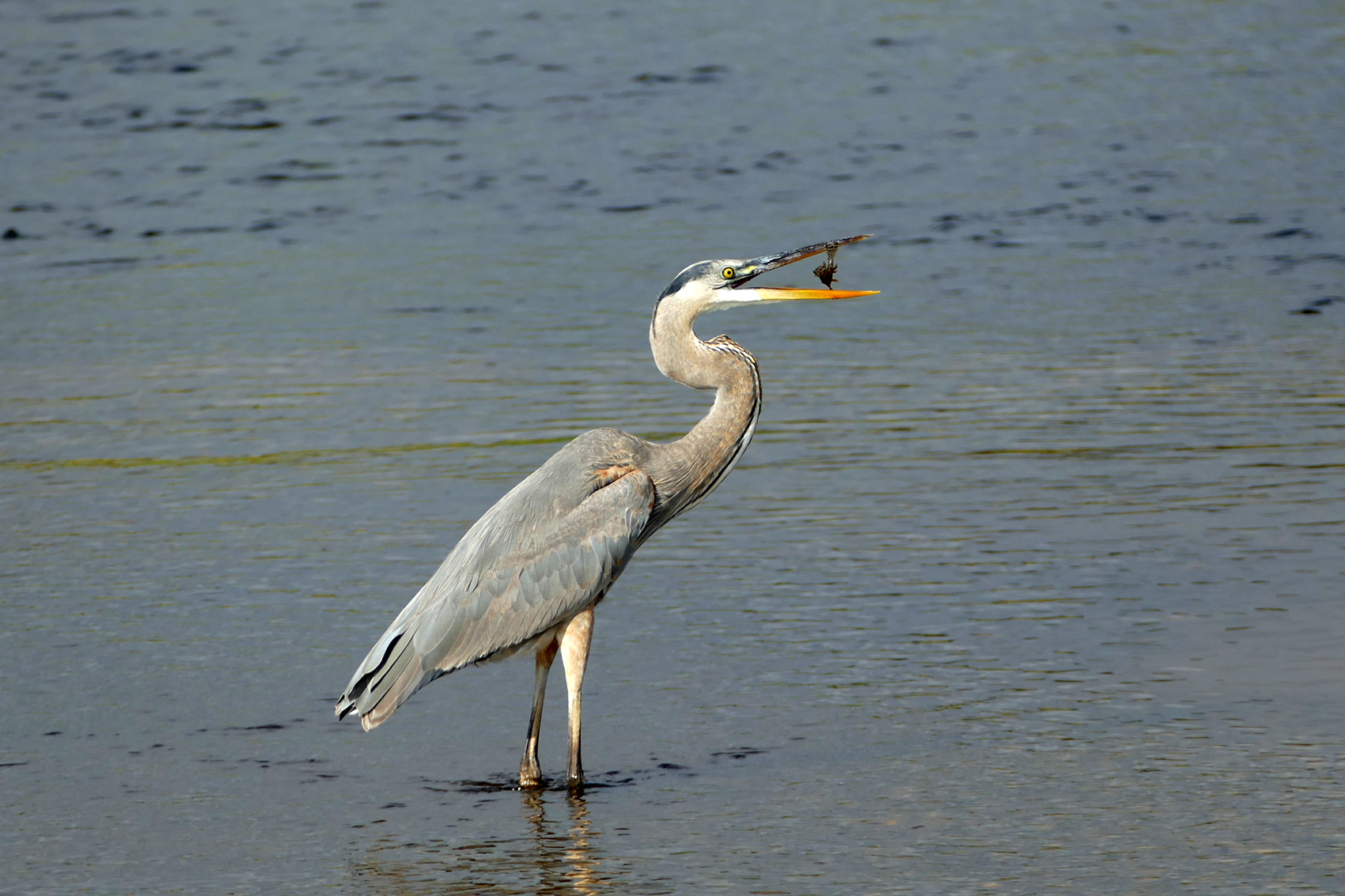 Patience is a Virtue Among Herons