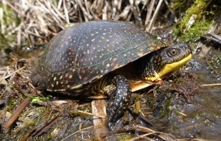 Blanding's Turtle: Under Threat