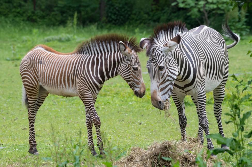 Zebras: Born Black, White…and Brown?