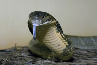 King Cobra in Name Only?