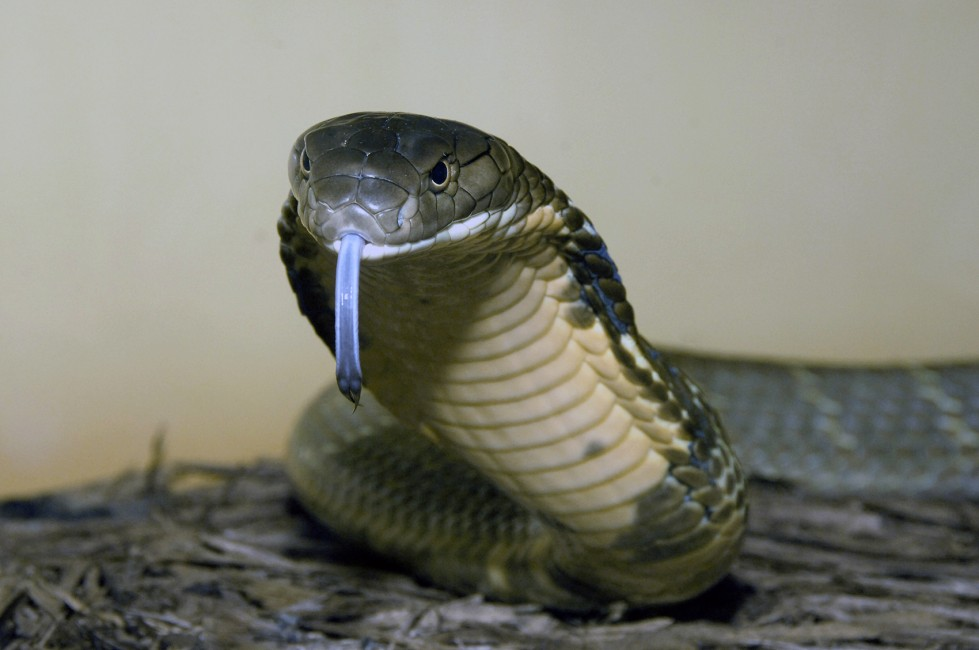 king cobra in name only wild view