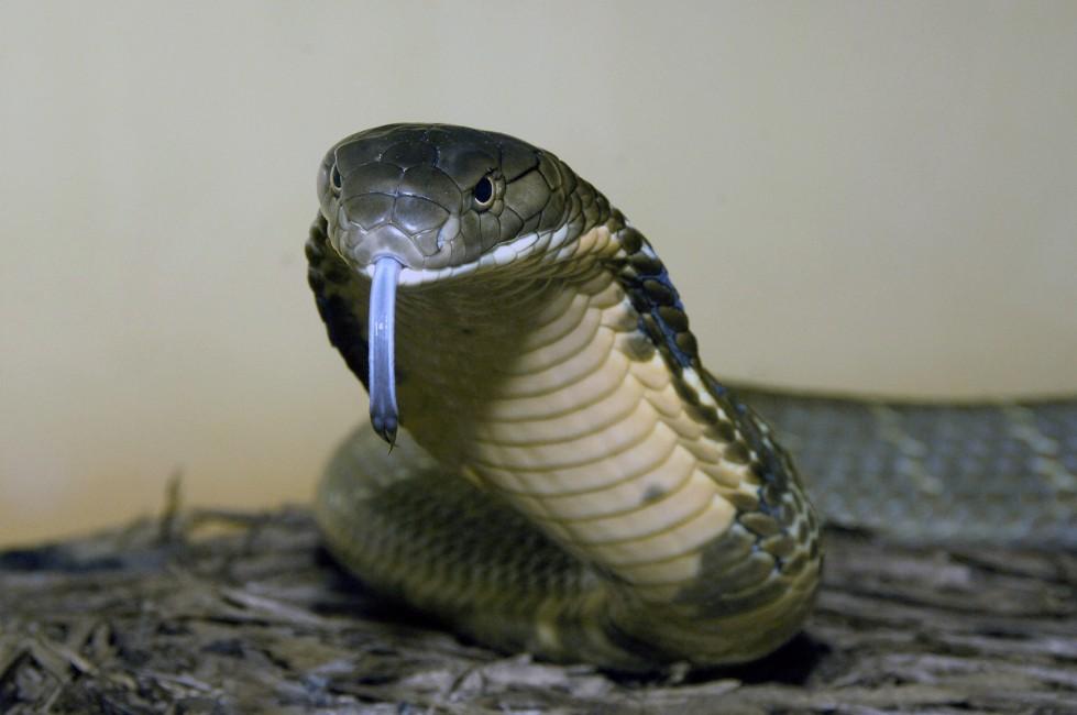 King Cobra in Name Only?
