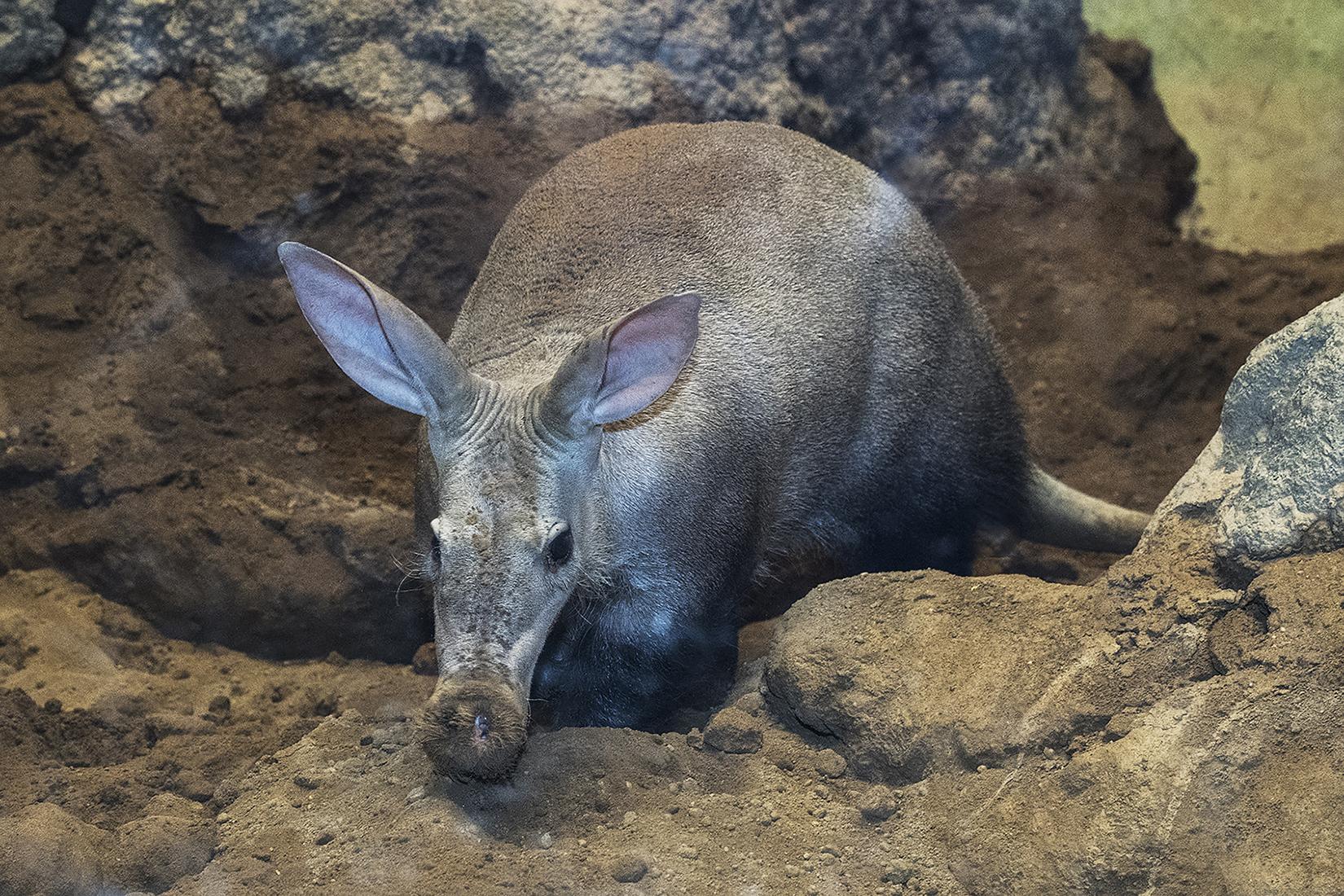 Aardvarks: Weird and Wonderful