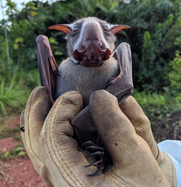 Hammer-headed Bat Ambassador