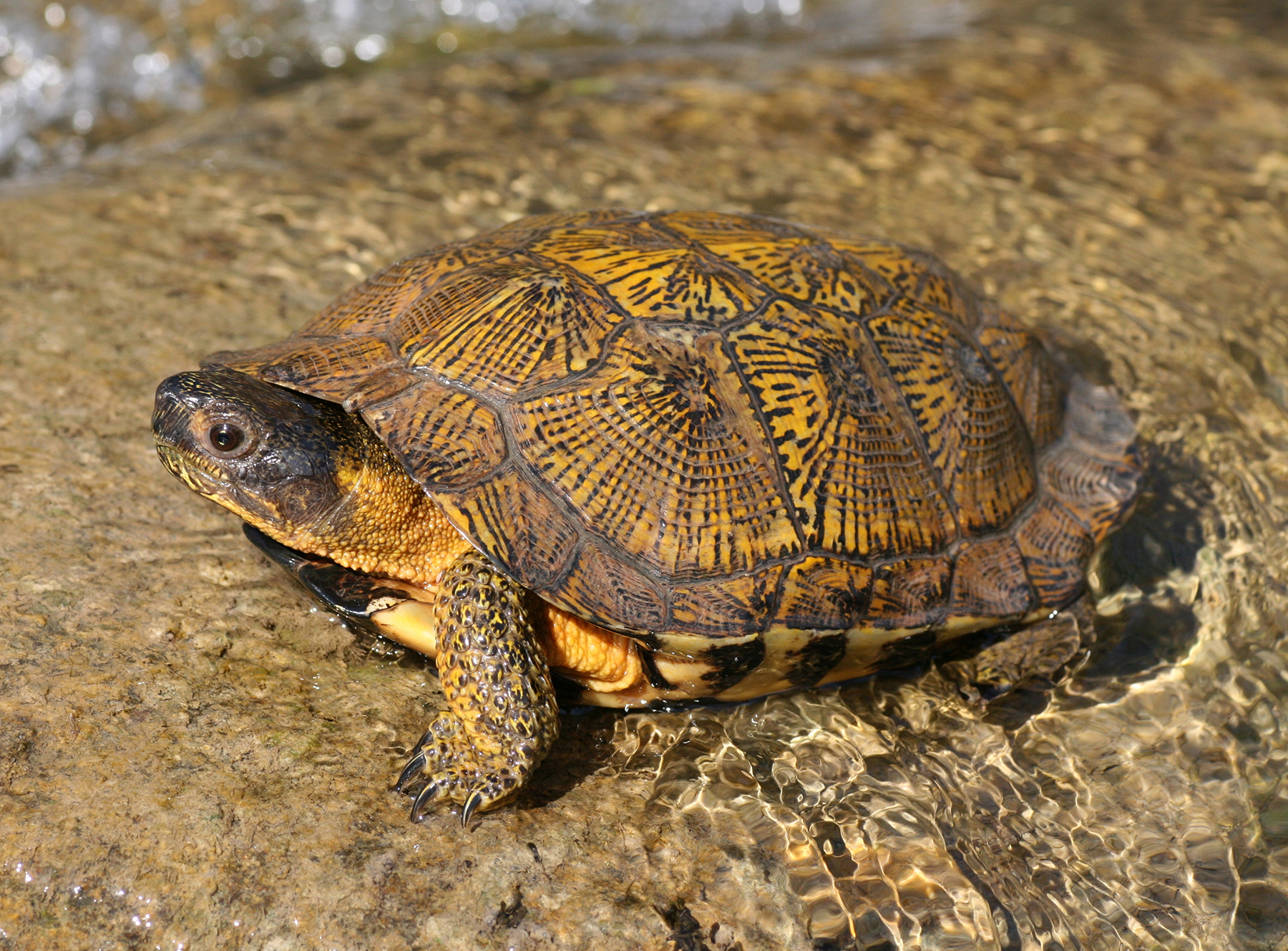 Endangered Wood Turtle: Slowly Vanishing From Our Streams and Woodlands