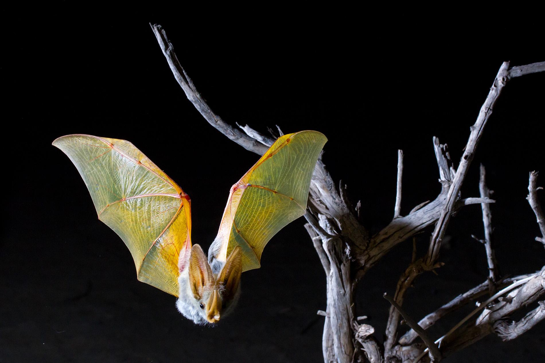 Blonde Bat