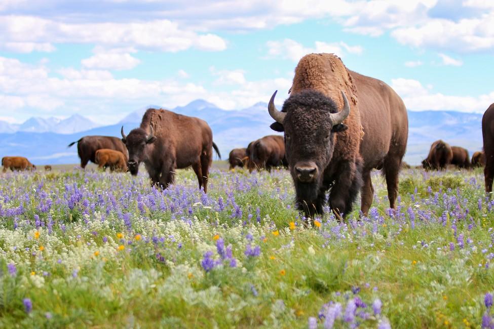 Buffalo Belong Here
