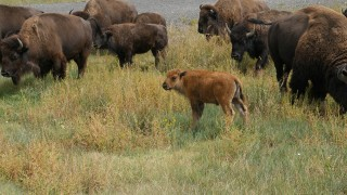 A Moment with American Bison