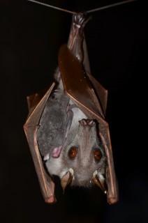 Hammer-headed Bat Family