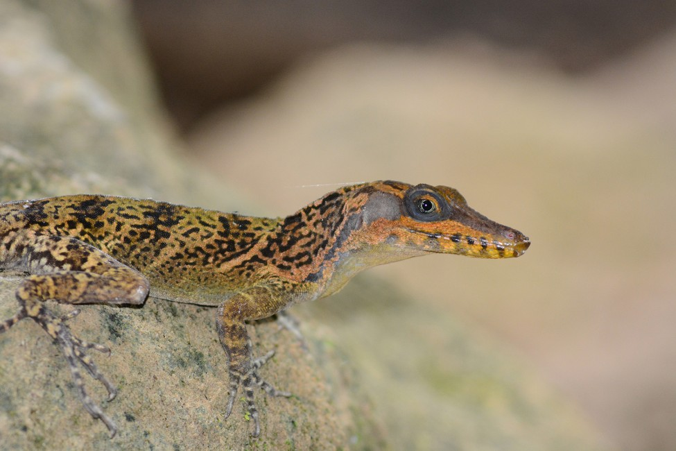 """In Search of the """"Lagarto Caiman"""""""