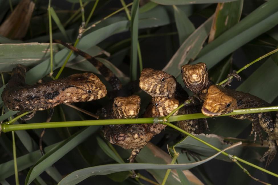 A Lounge of Crocodile Lizards