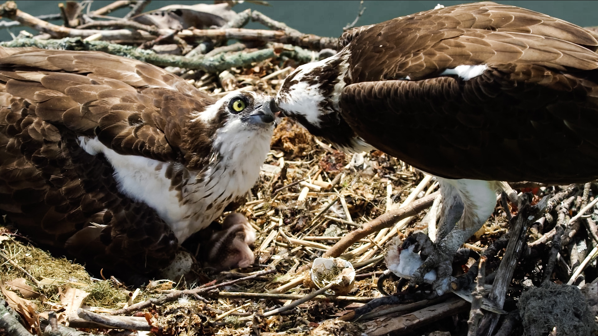 Osprey Family Matters