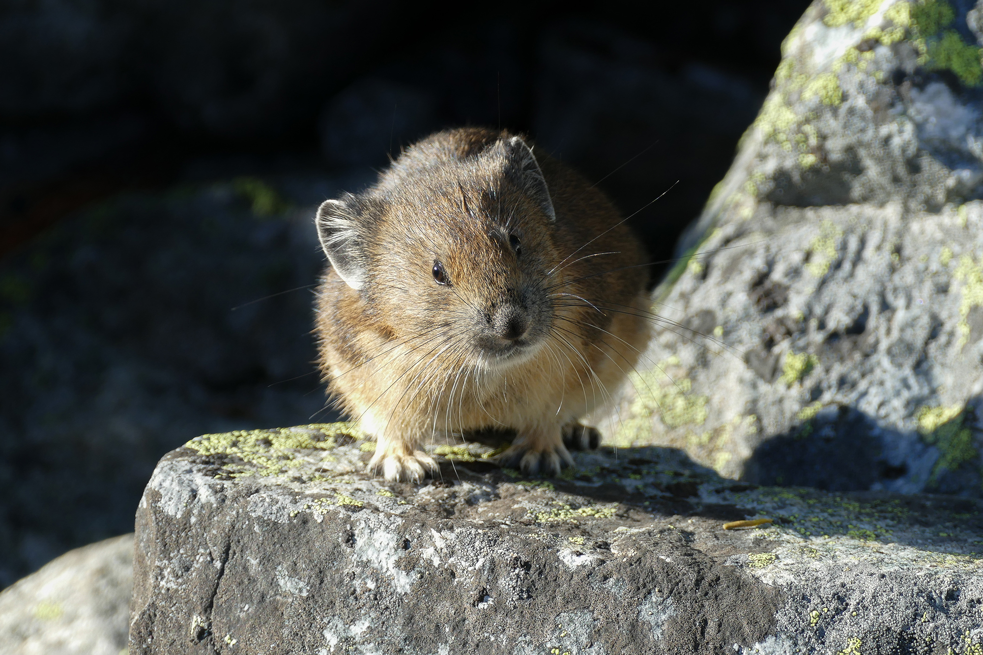 Protecting the Pikas