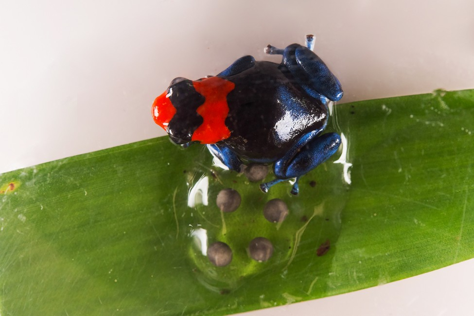 Blessed Poison Frogs