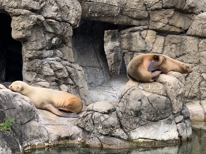 California Sea Lions: Wing-footed Wonders