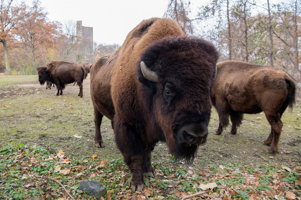 Big Bison Big Herd Big Success Wild View