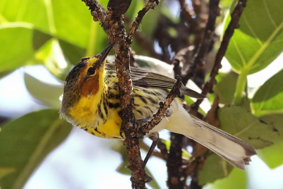 The Misunderstood Songbird