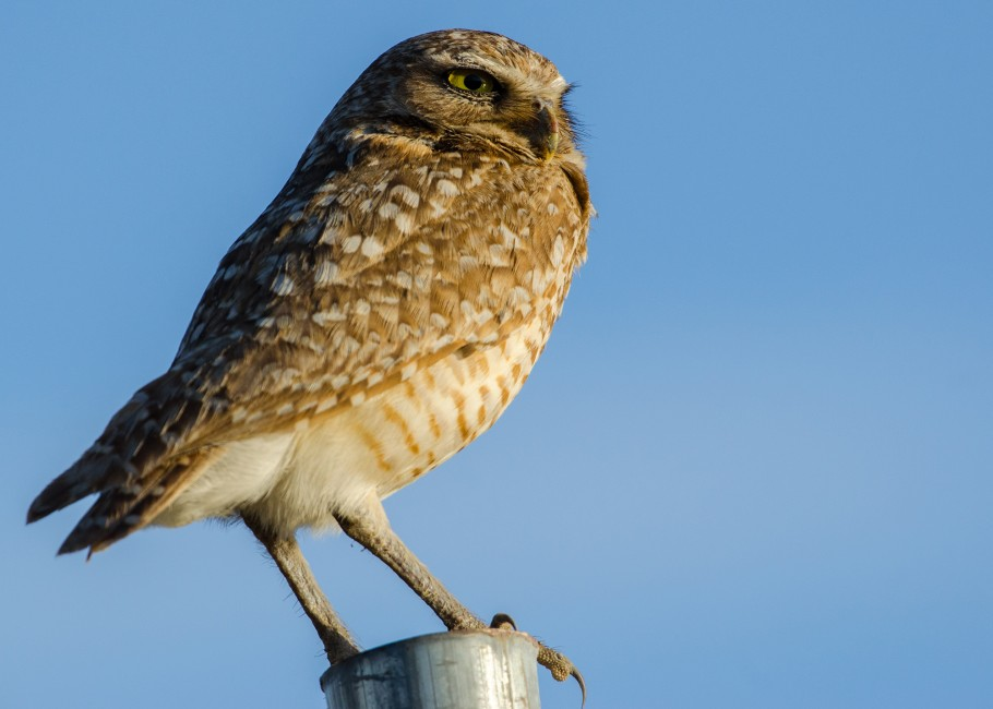 A Burrowing Owl in the Boroughs