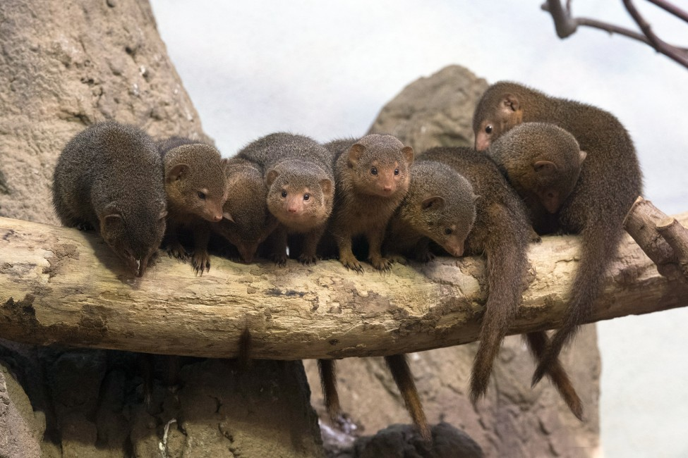 A Mob of Mongooses