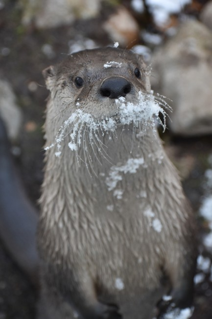 Snowy Otter