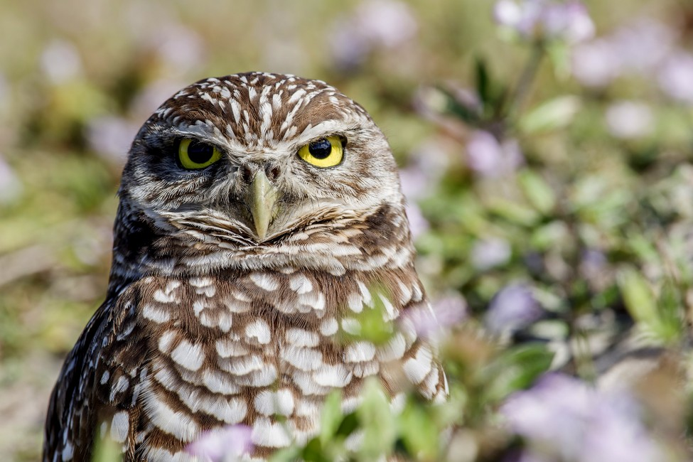 Destination: Burrowing Owls