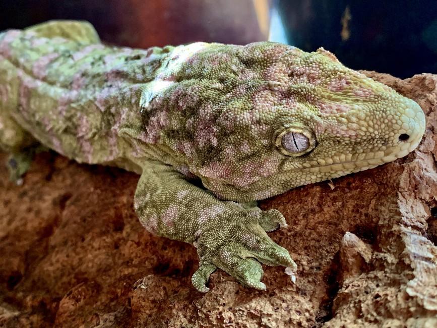 World's Largest Gecko