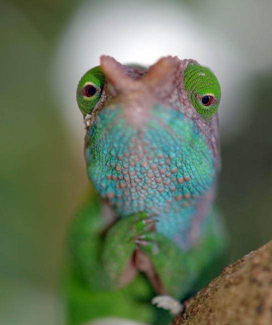 Chameleons: Masters of Adaptability – Part 2