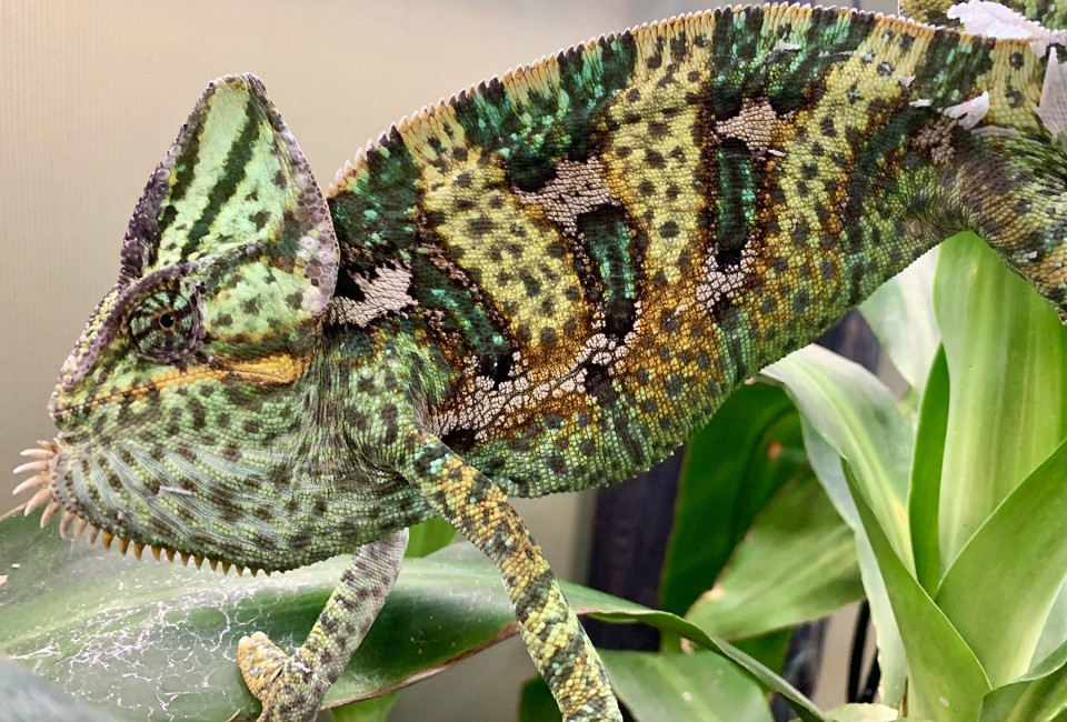 Chameleons: Masters of Adaptability – Part 1