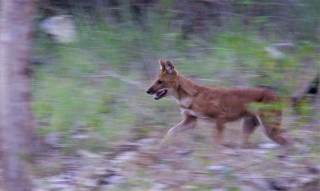 The Dhole: Asia's Cat-chasing Cool Canids