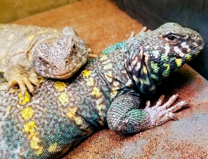 A Uromastyx Happily Ever After