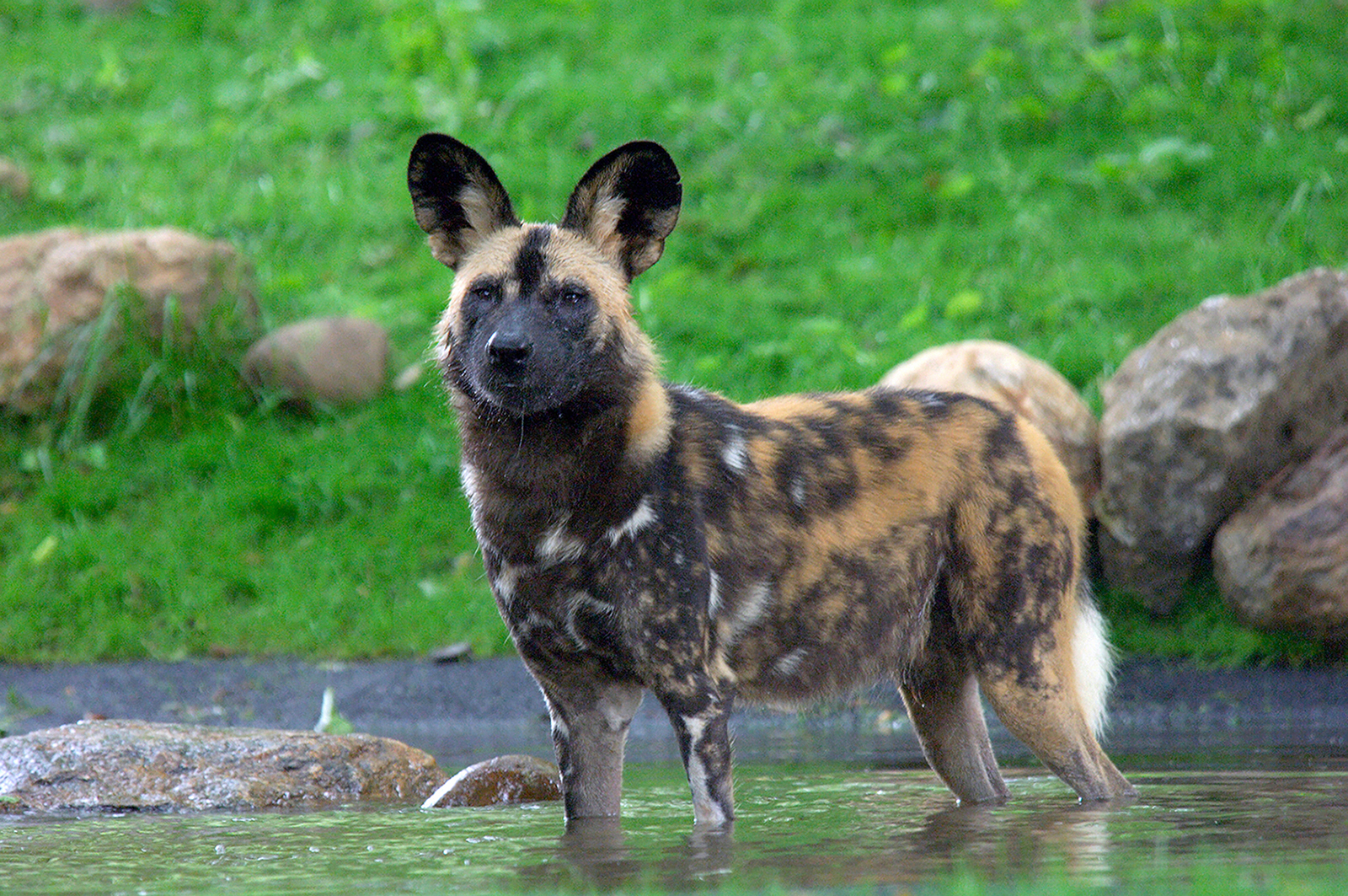 African Wild Dogs: Cunning Canines
