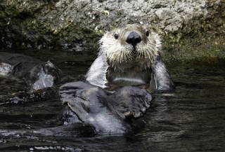 Otter Fur: More than Fluff